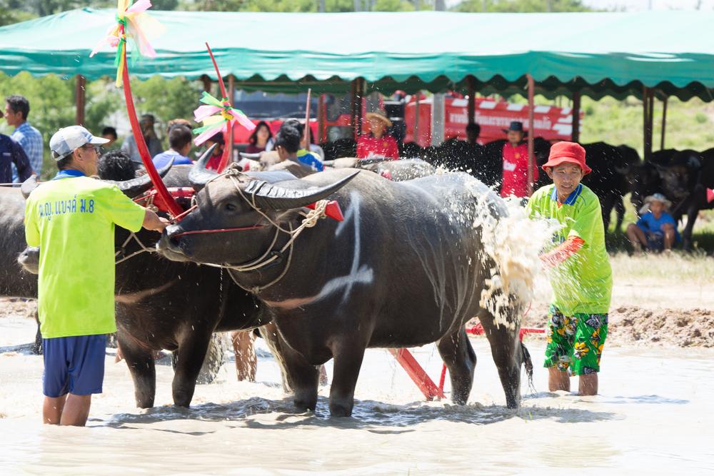 Chonburi Buffalo Racing Festival Thailand